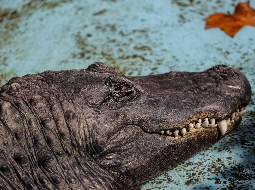 Wanita AS Tewas Diserang Aligator Saat Bawa Anjing Jalan-jalan