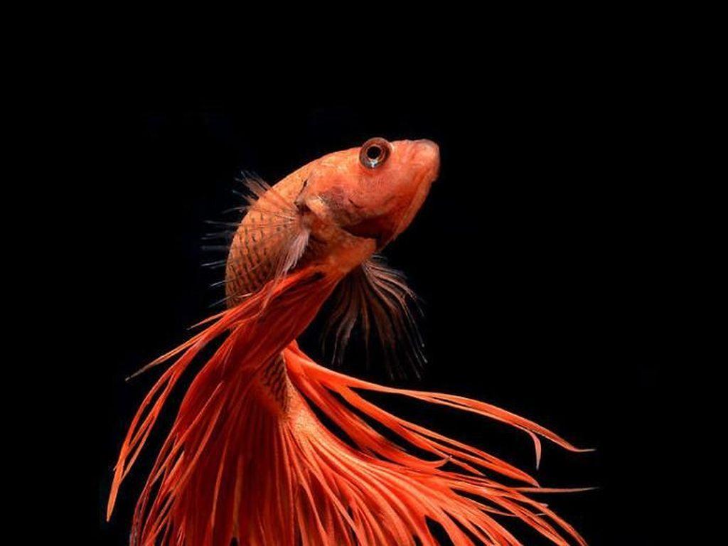 Fotografer Dewa Memotret Ikan Bikin Apple Kepincut