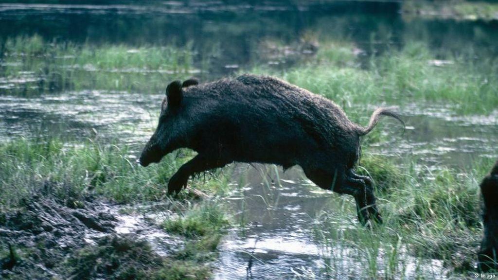 Denmark akan Bangun Pagar Kontroversial Anti Babi Hutan