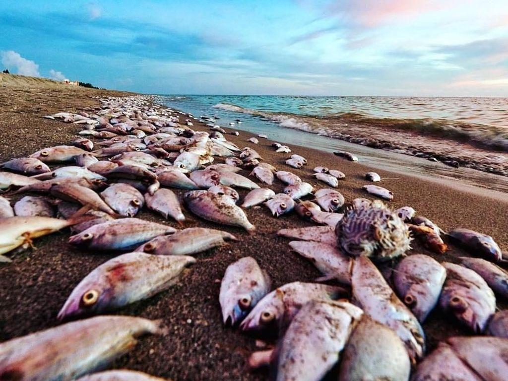 Banyak Hewan Laut Mati, Potret Miris Dampak Polusi Alga Beracun