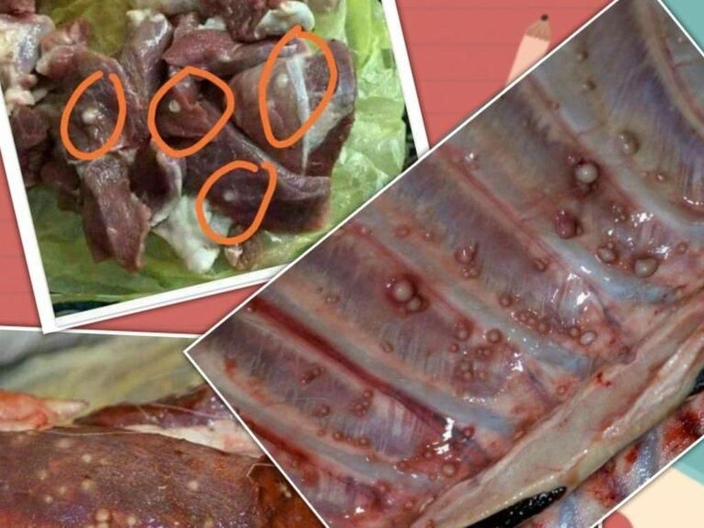 Gelembung Putih di Daging Hewan Kurban Tanda Tuberkulosis?