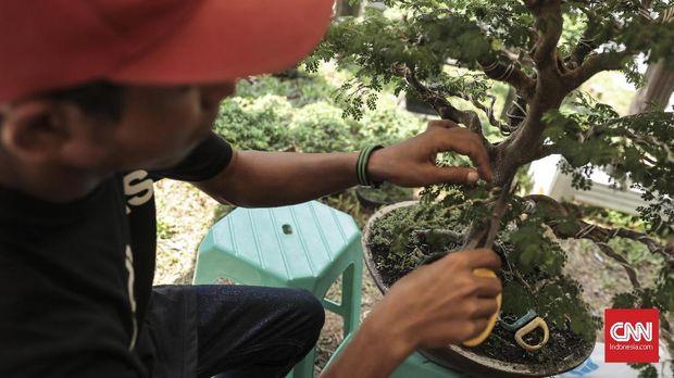 Penjual merapikan tanaman bonsai yang dipamerkan  pada Pameran Flora dan Fauna 2018 di Lapangan Banteng, Jakarta (19/8). Pameran yang diselenggarakan Dinas Kehutanan Provinsi DKI tersebut menampilkan berbagai jenis tanaman dan hewan yang berlangsung 10 Agustus-10 September 2018. (CNN Indonesia/ Hesti Rika)