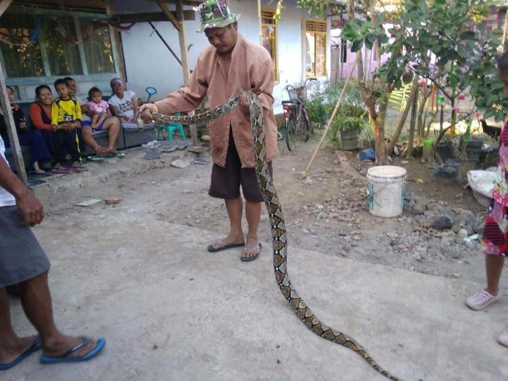 Ular Sanca 3 Meter Pemangsa Ternak Ditangkap Warga Ciamis