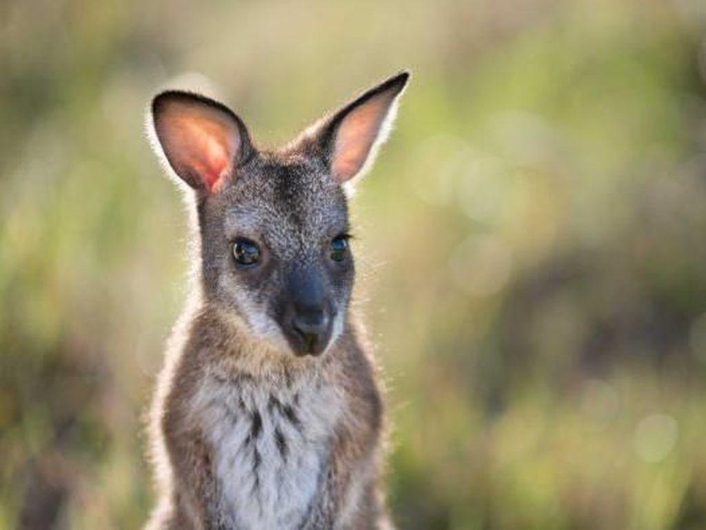Lucunya! Bayi Kanguru Lompat-lompat di Kabin Pesawat