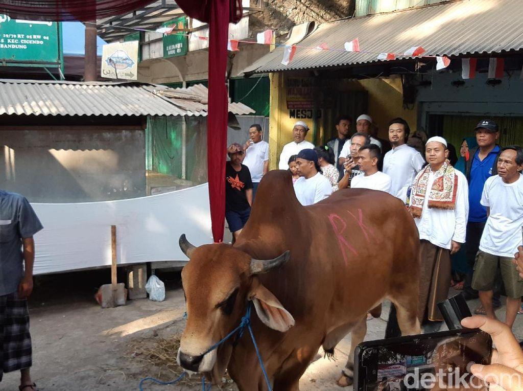 Ridwan Kamil Kurban Sapi 650 Kilogram di Cicendo Bandung