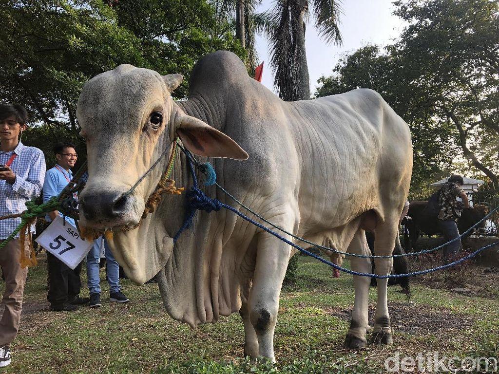 Jokowi Kurban Sapi 1,4 Ton ke Masjid di Cibinong, ini Wujudnya