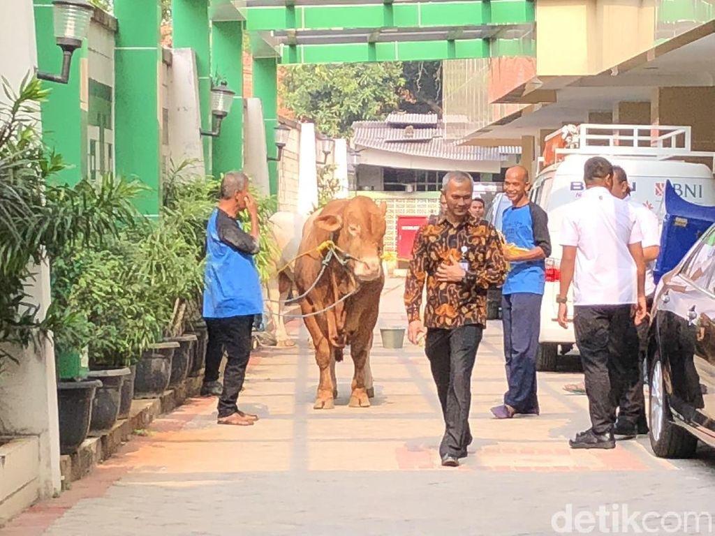 Jokowi Serahkan 2 Ekor Sapi ke PP Muhammadiyah, 1 Jenis Limosin