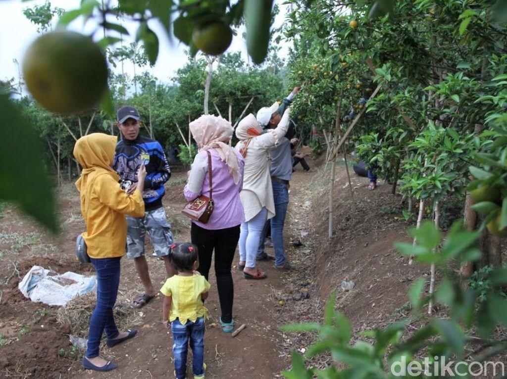 Agrowisata Kebun Jeruk di Bandung, Menarik Tapi Minim Fasilitas