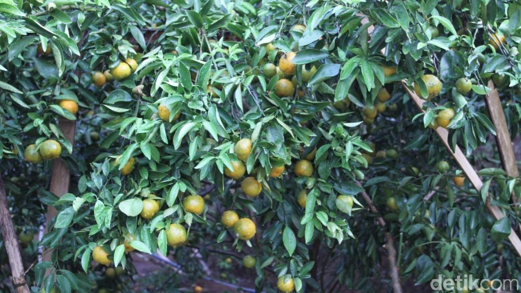 Foto: Kebun Jeruk di Bandung yang Asyik Untuk Piknik