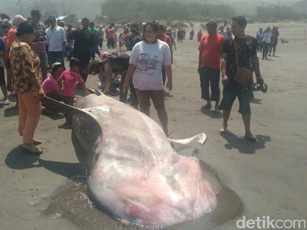 Seekor Hiu Terdampar di Pantai Parangkusumo Bantul