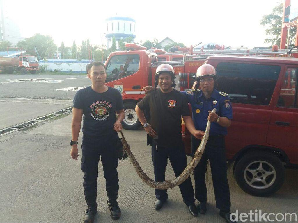 Ular Piton 3 Meter Bikin Geger Warga Antang Makassar
