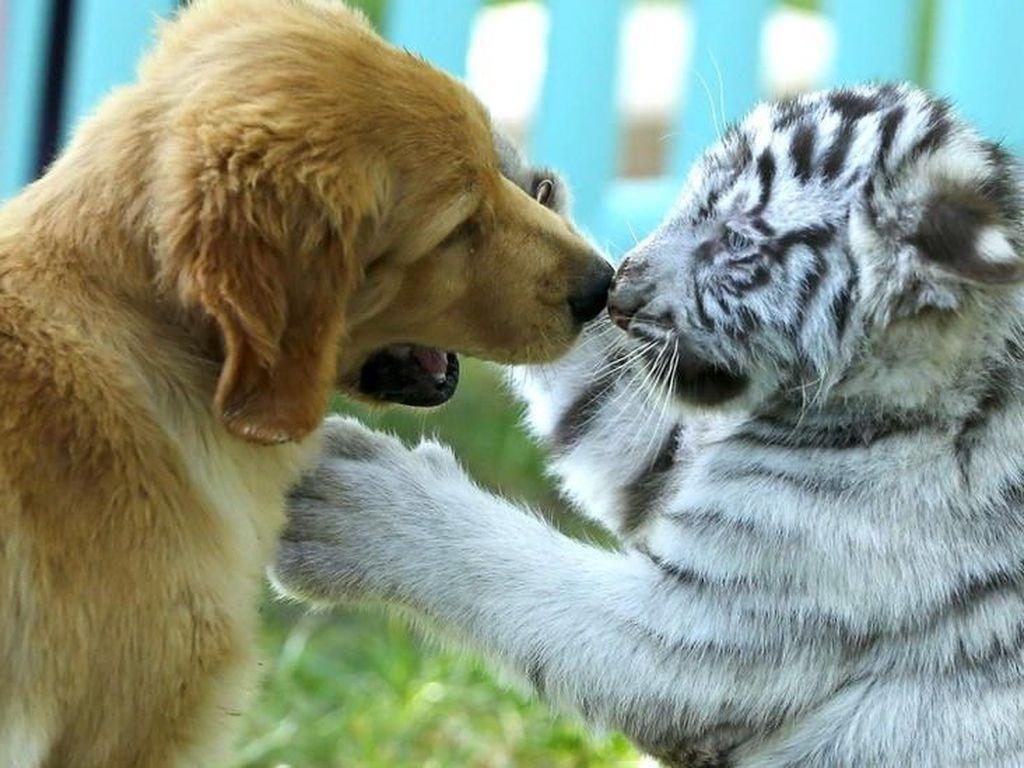 Viral Foto Anjing Bermain dengan Bayi Macan dan Singa di China