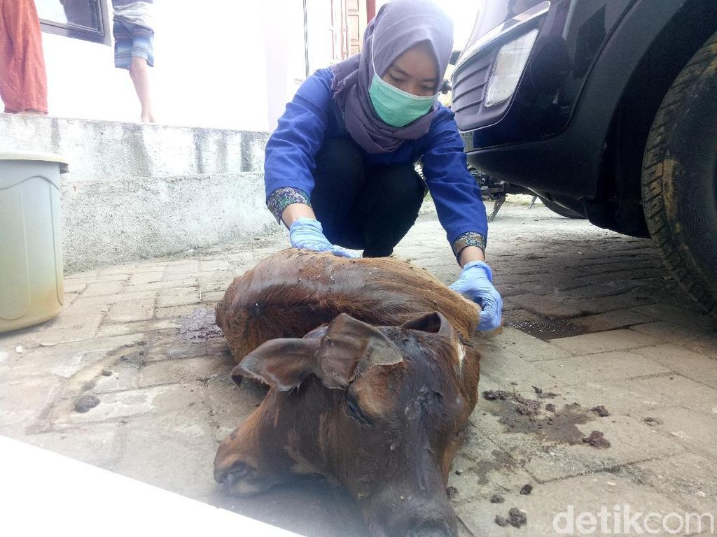 Heboh! Sapi Berkepala Dua Lahir Lewat Operasi Caesar di Makassar