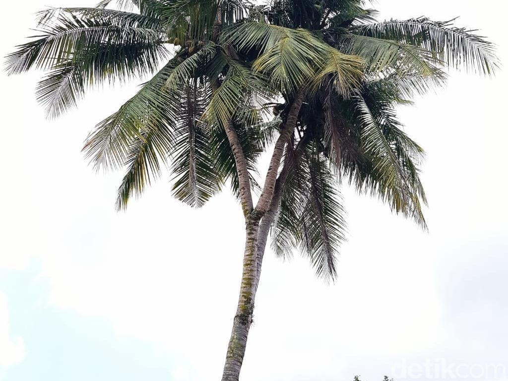 Unik, Ada Pohon Kelapa Bercabang 3 di Riau