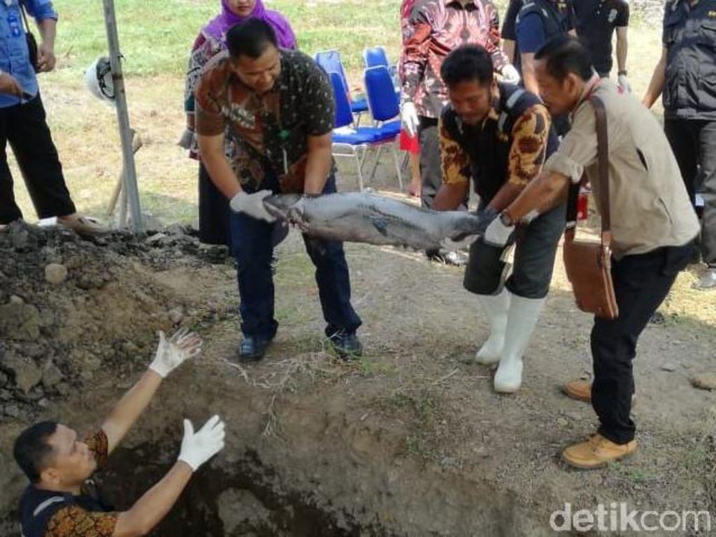 Puluhan Ikan Arapaima dari Enam Kota di Jatim Dimusnahkan
