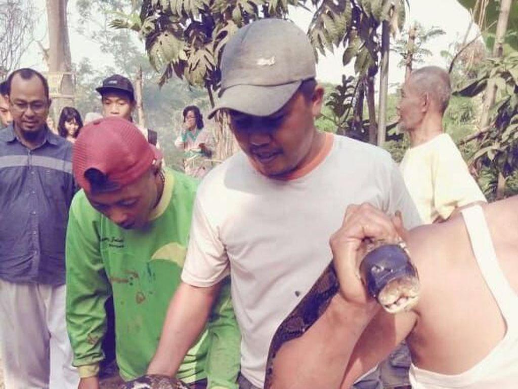 Piton 5 Meter Ditemukan Warga Gegara Drainase Mampet