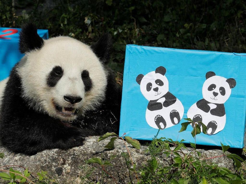 Melihat Tingkah Laku Panda yang Bikin Gemas