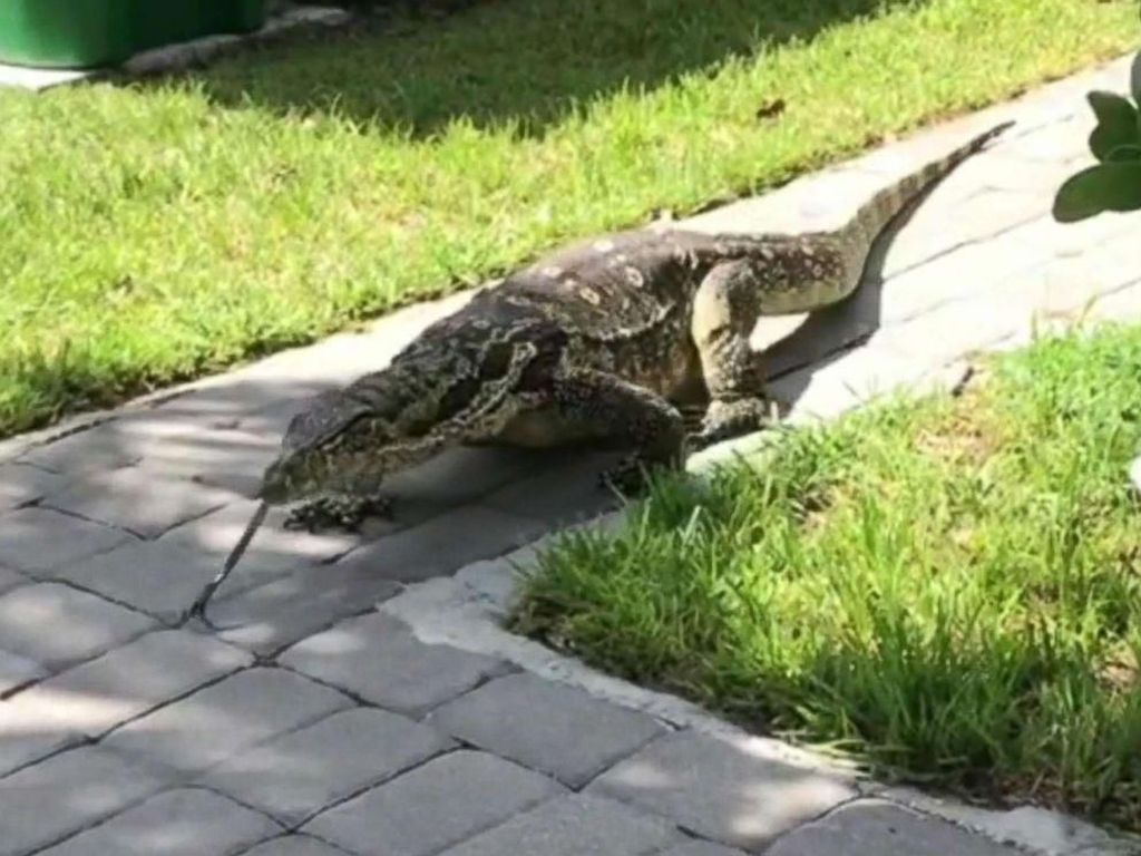 Keluarga di Florida Diteror Kadal Raksasa Berminggu-minggu