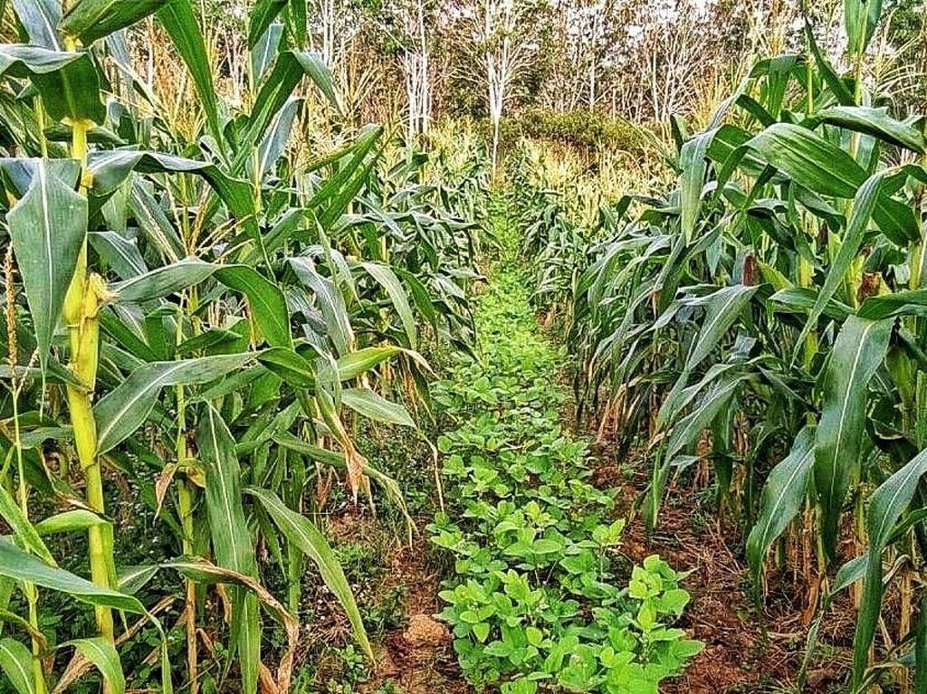 Kementan Sebut Produksi Jagung Capai 30 Juta Ton hingga Akhir Tahun