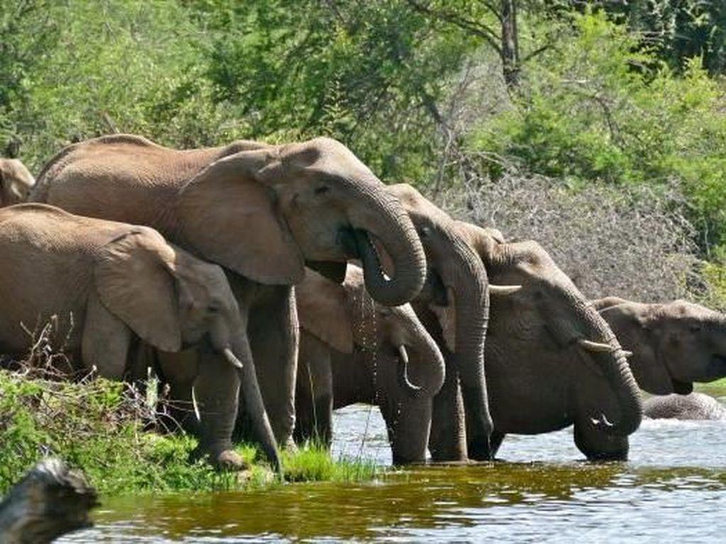 15 Gajah Liar Rusak Rumah Warga di Aceh