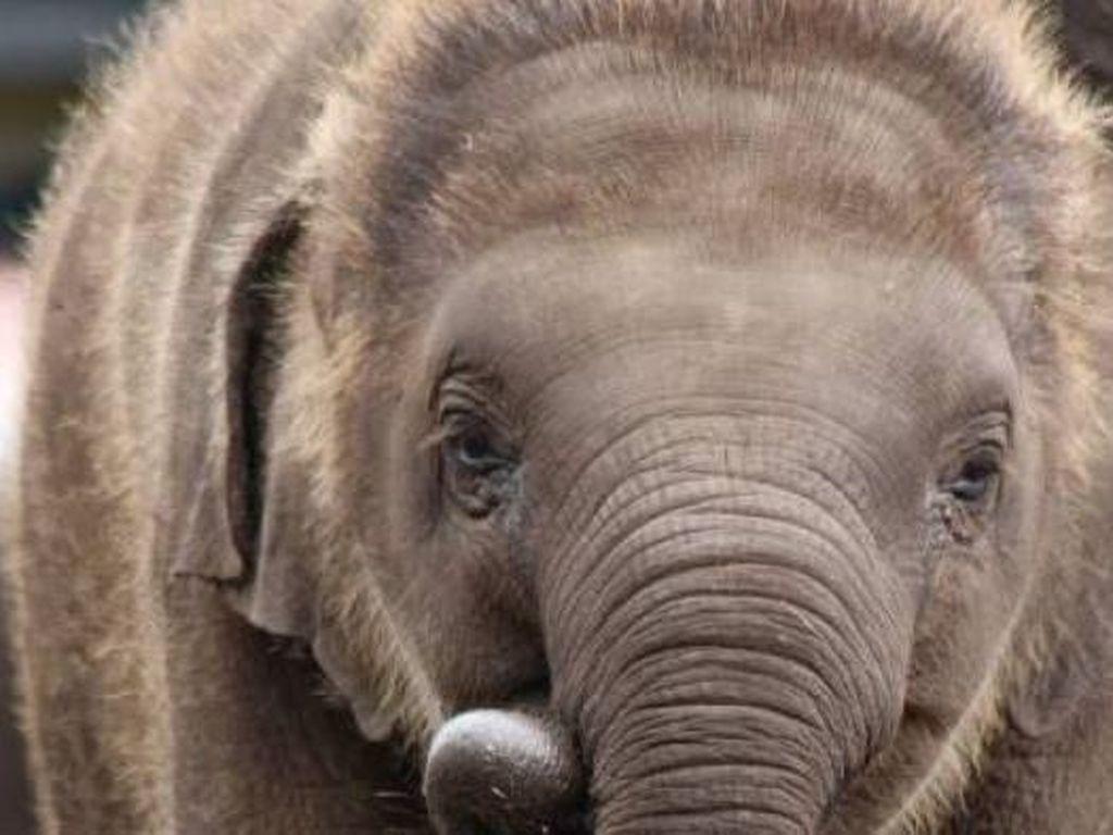 Duh, Kasihan Anak Gajah Ini Terperangkap Jeratan Babi