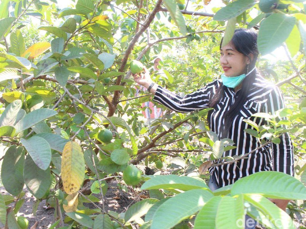 Coba Sensasi Wisata Kebun Petik Jambu di Sidoarjo