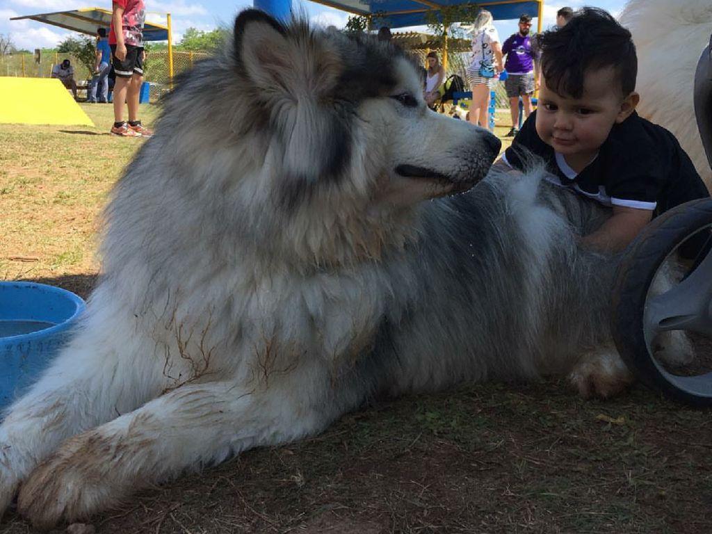 Bikin Gemas! Ekspresi Bocah Saat Bersama Anjing Alaskan Malamute