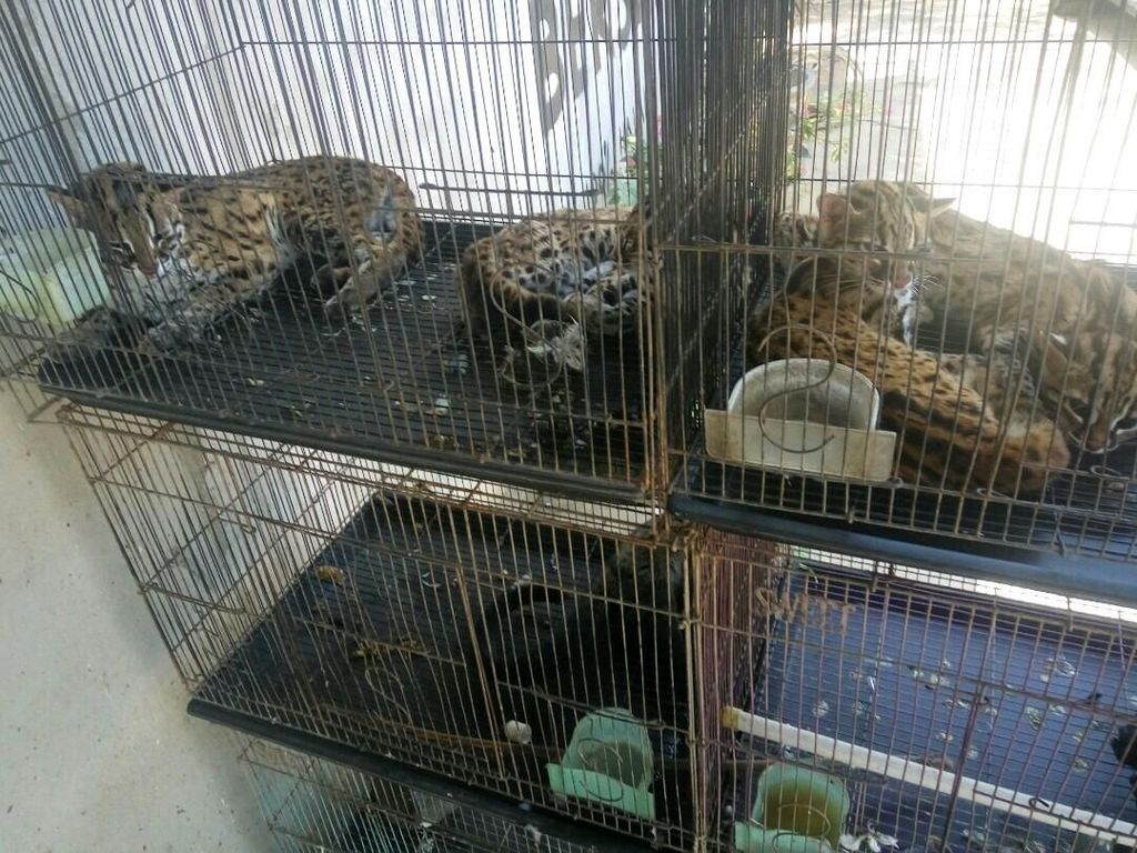 Polisi Gagalkan Penjualan 4 Kucing Hutan di Kalbar