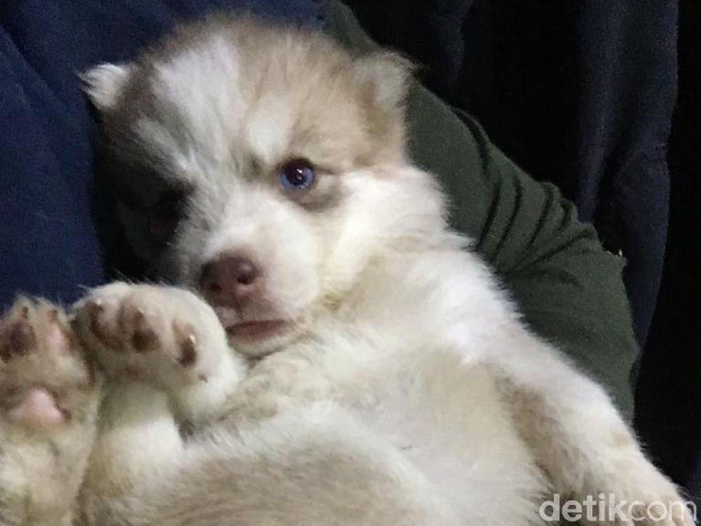 Digugat Rp 1,5 M, Dokter Bantah Penyebab Kematian Siberian Husky