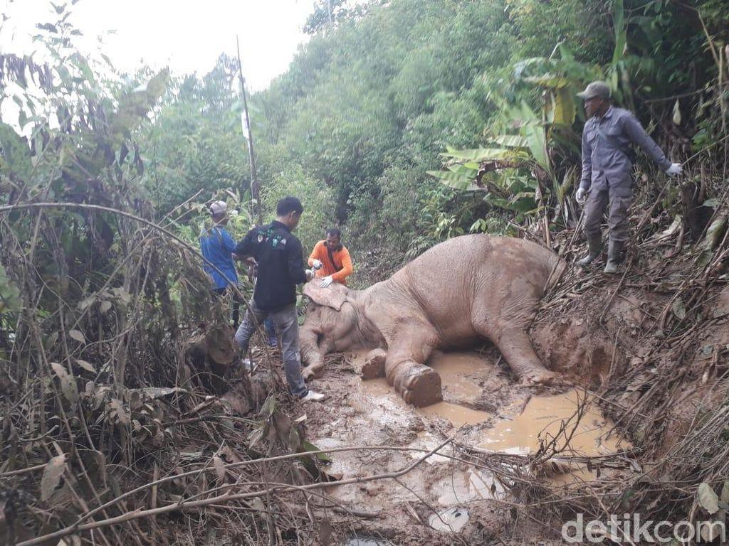Kena Jerat, Gajah Betina Liar di Aceh Luka Parah