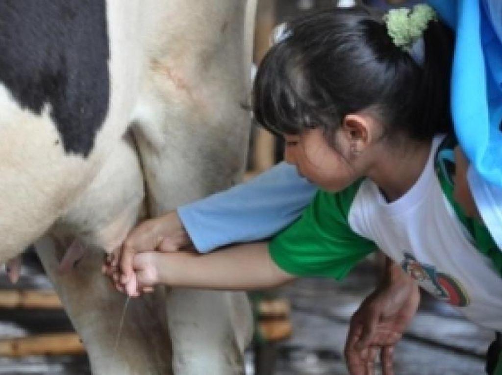 Yuk, Wisata Perah Susu Sapi di Bogor