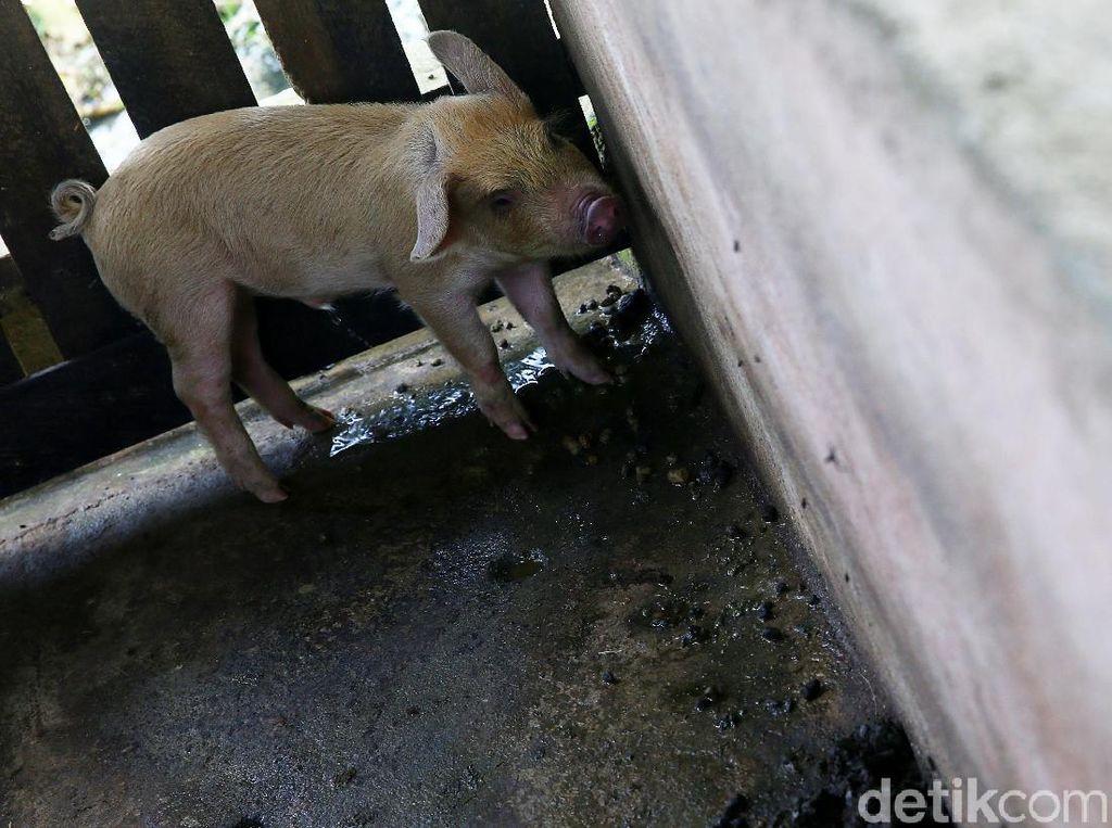 Kementan Waspadai Wabah ASF yang Serang Babi di China