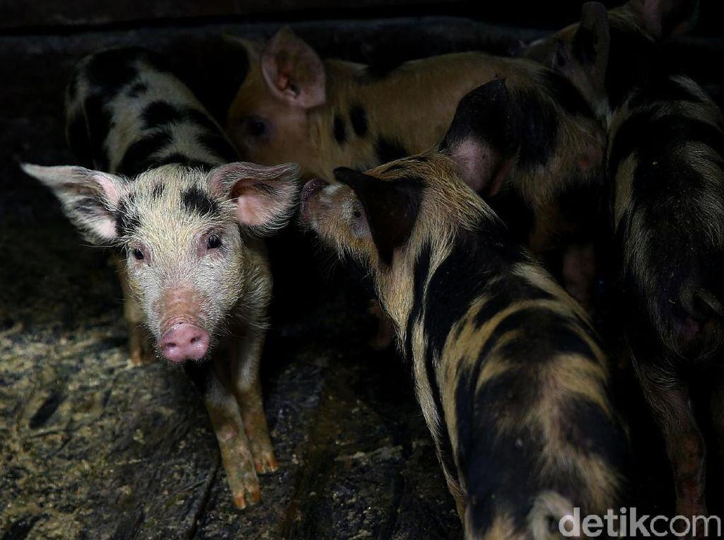 4 Orang Ditangkap Karena Selundupkan Babi Saat China Dibayangi Demam Babi