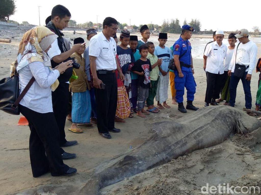 Ikan Hiu Tutul Ditemukan Mati Terdampar di Pantai Tuban