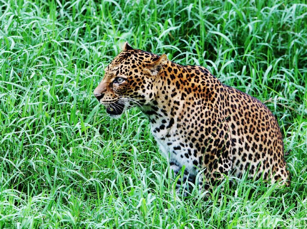 Seorang Balita Tewas Diterkam Macan Tutul di Afrika Selatan