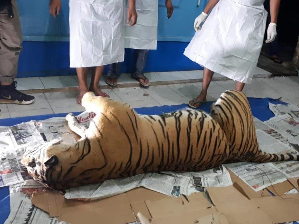 Jerat Manusia Habisi Nyawa Harimau Sumatera