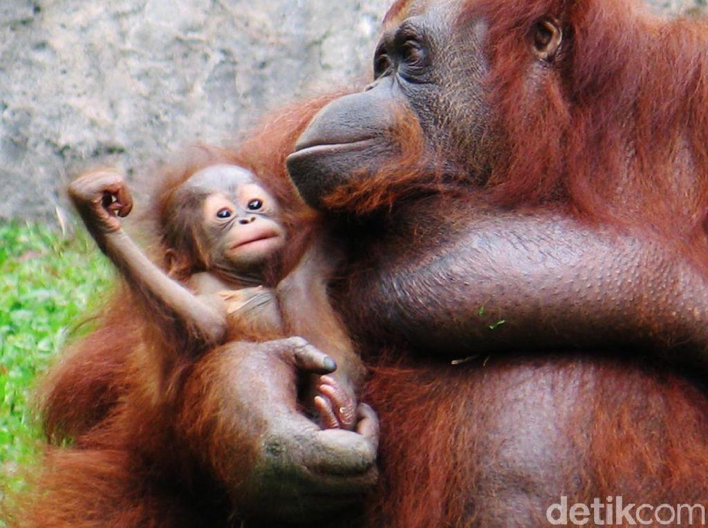BBKSDA Riau Amankan 3 Anak Orang Utan