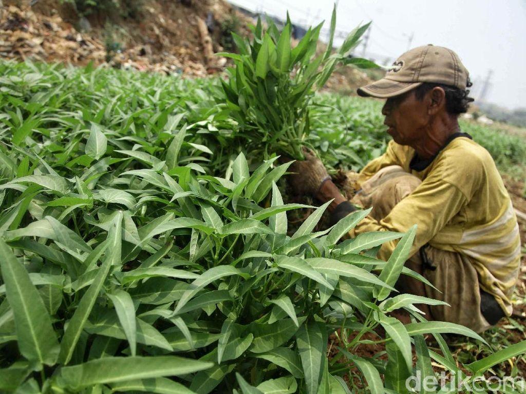 Potret Petani Sayuran Mencoba Bertahan di Tengah Kemarau