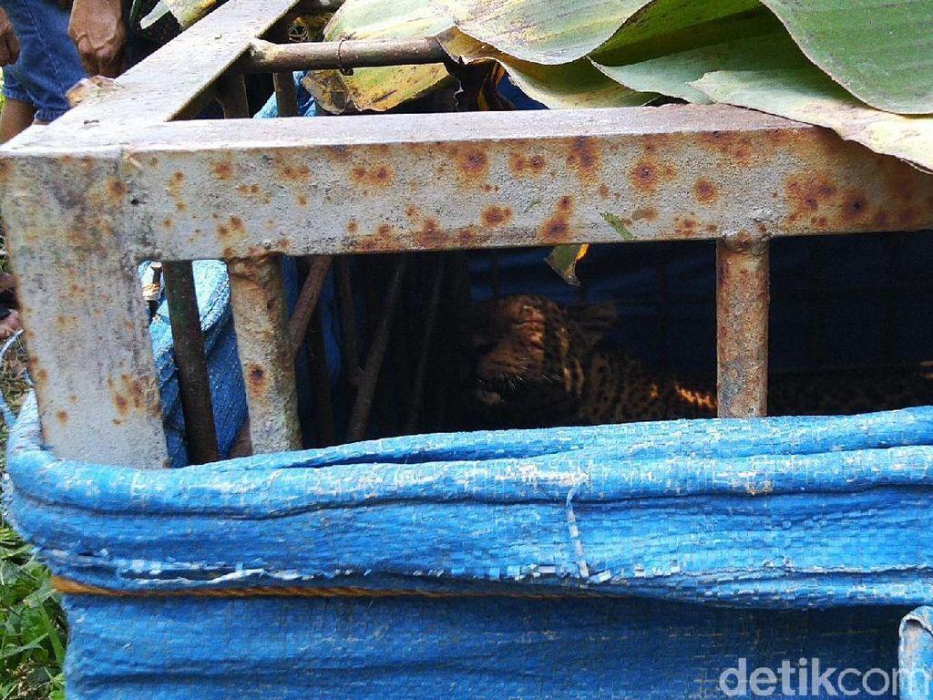 Macan Tutul yang Tertangkap Warga Ciamis, Segera Dilepasliarkan