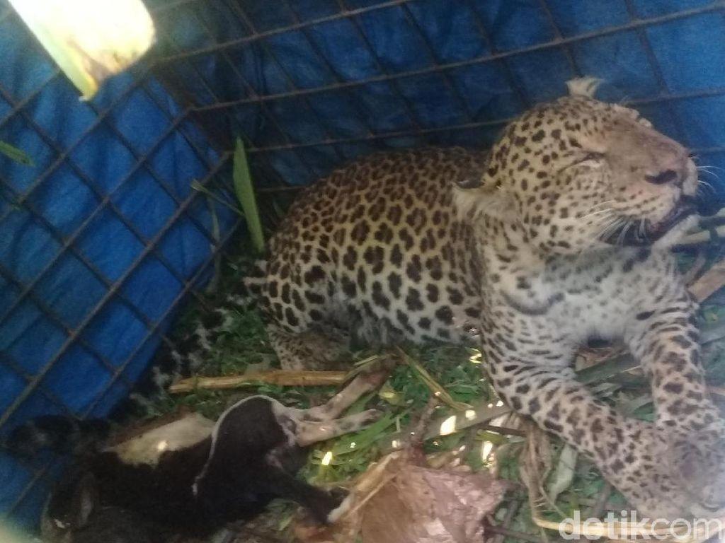 Macan Tutul yang Ditangkap Warga Dilepas ke Gunung Sawal Ciamis