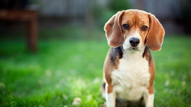 42+ Anjing ras kecil yang pintar terupdate