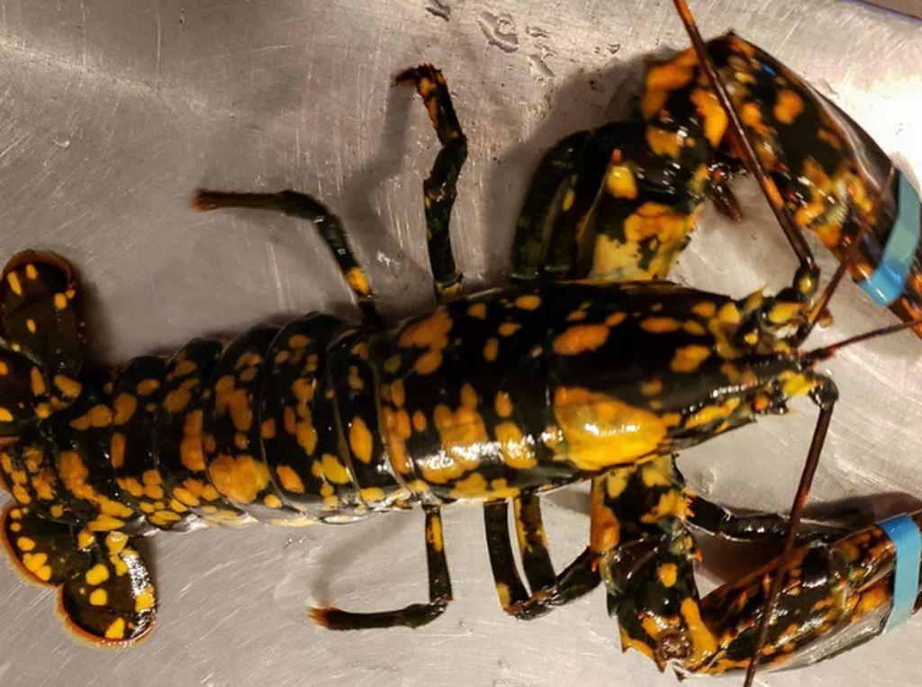 Cantiknya! Lobster Langka dengan Warna Hitam dan Bintik Oranye