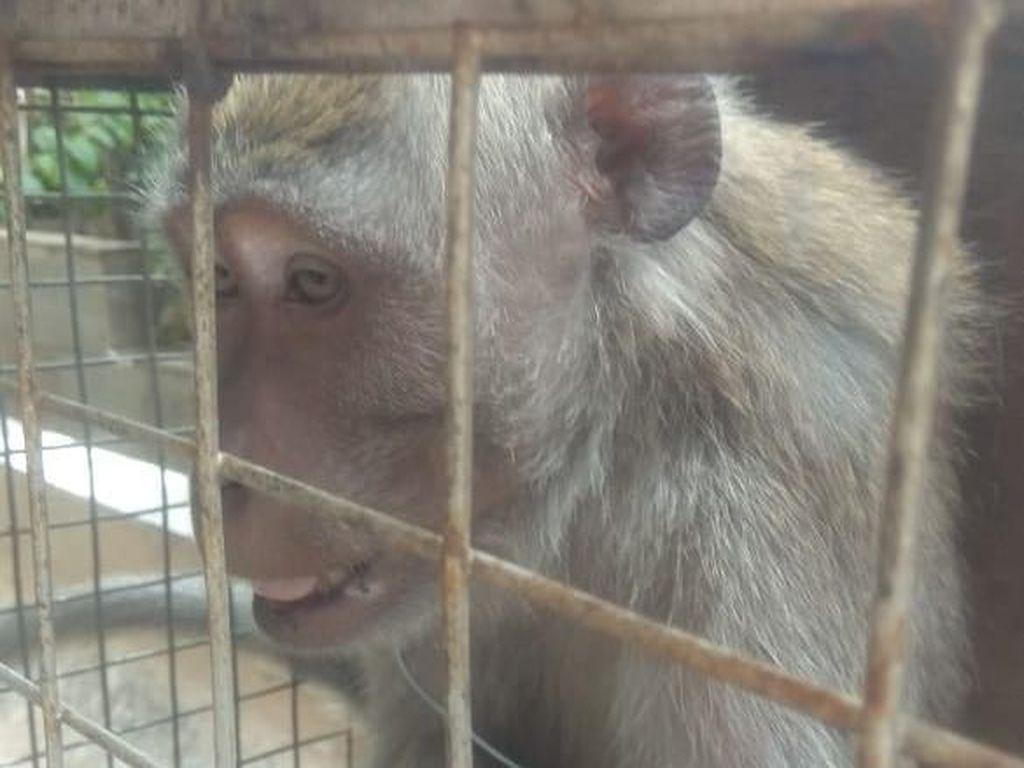 Gigit Anak hingga Nenek-nenek, Monyet Liar di Bekasi Ditangkap