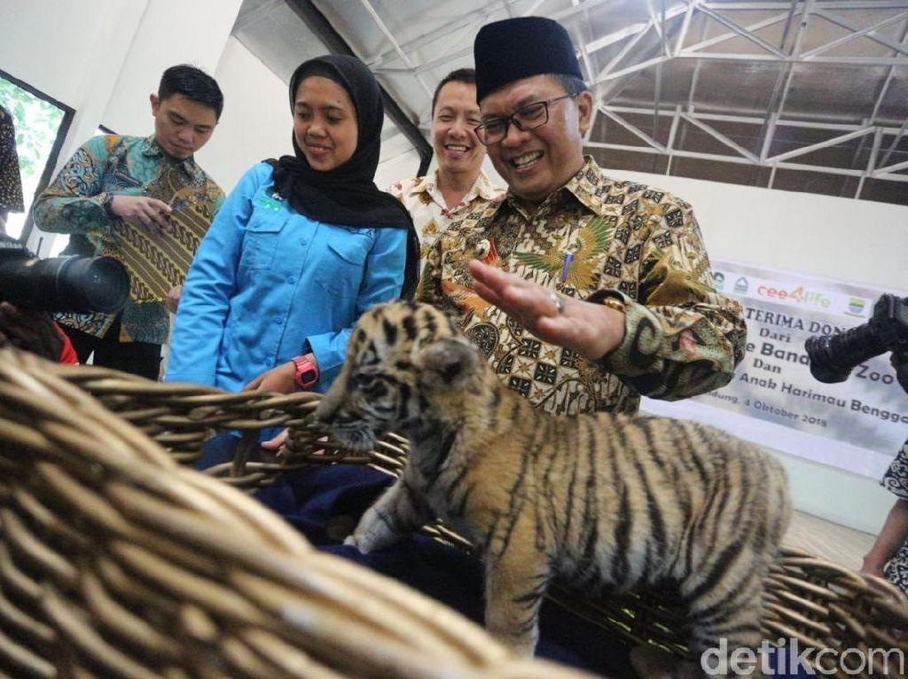 Kenalkan, Donggalah Si Bayi Harimau Benggala di Bunbin Bandung