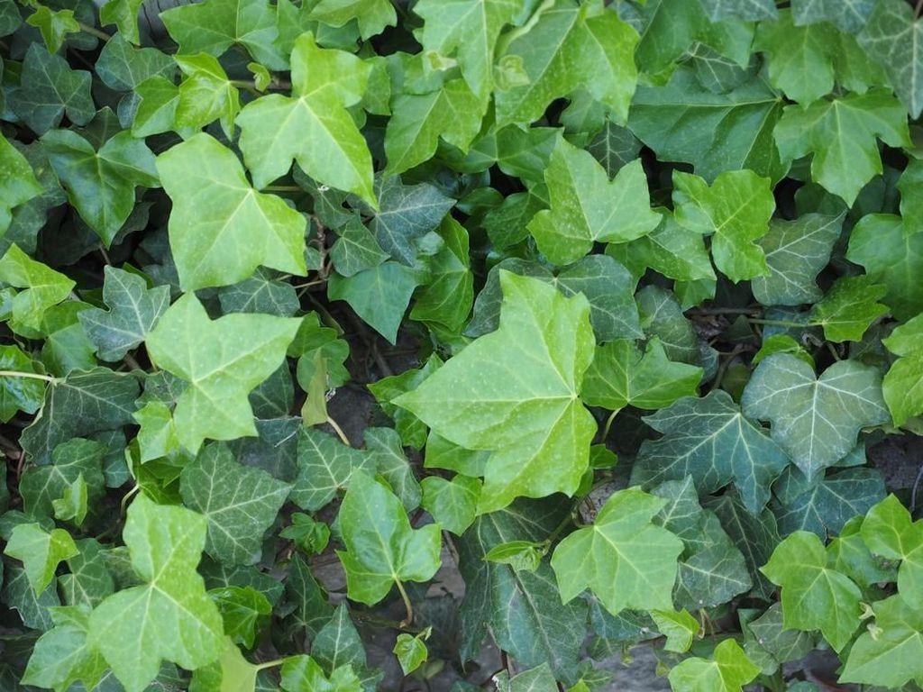 Mengenal Daun Ivy, Tanaman Hias yang Bisa Meredakan Batuk