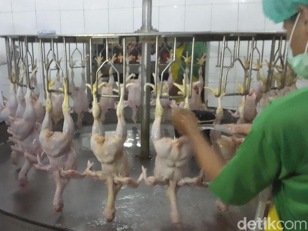 Perjalanan Panjang Daging Ayam Sampai Jadi Lauk Sarapan Pagi Ini