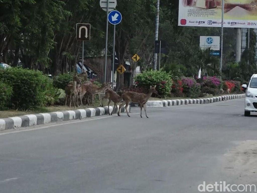 Kawanan Rusa Masuk ke Jalanan Kota Palu