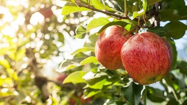 Ilustrasi buah