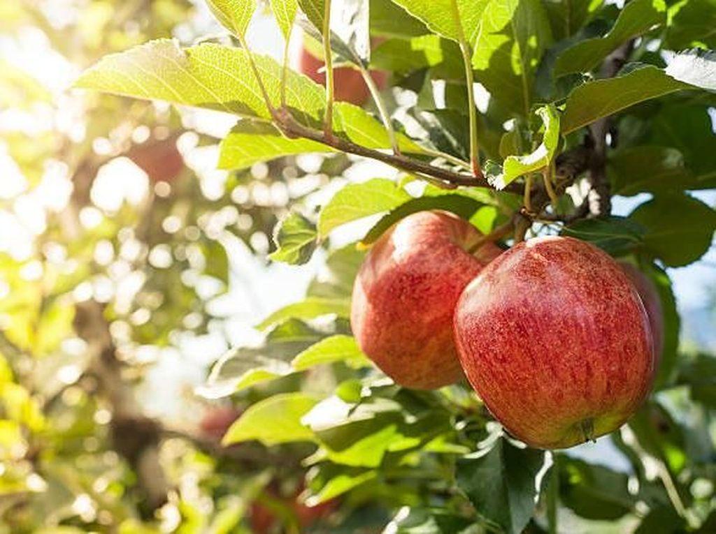 Makanlah Buah Apel Setiap Hari untuk Dapatkan 10 Khasiat Sehat Ini
