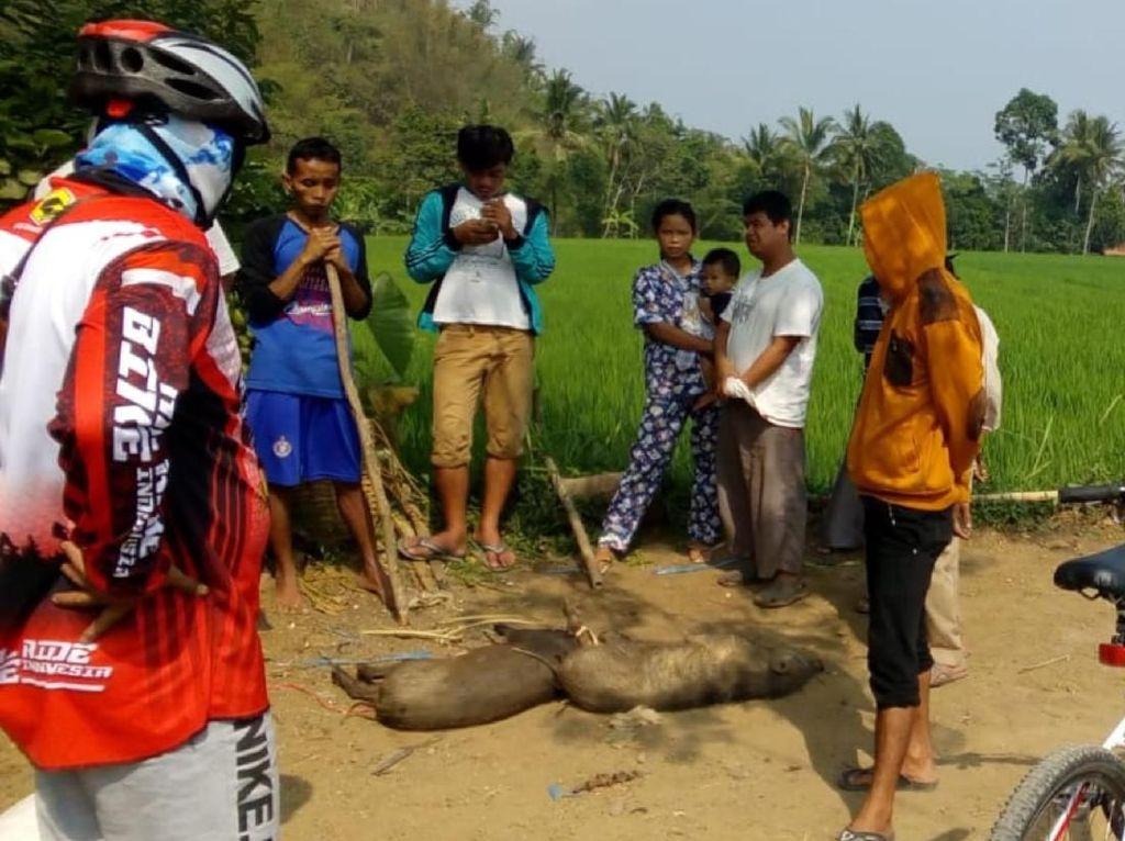 Gerombolan Babi Hutan Ngamuk di Permukiman Warga Sukabumi